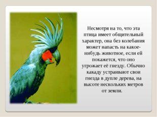 Несмотря на то, что эта птица имеет общительный характер, она без колебания
