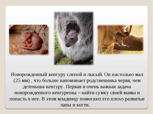 Новорожденный кенгуру слепой и лысый. Он настолько мал (25 мм) , что больше н...