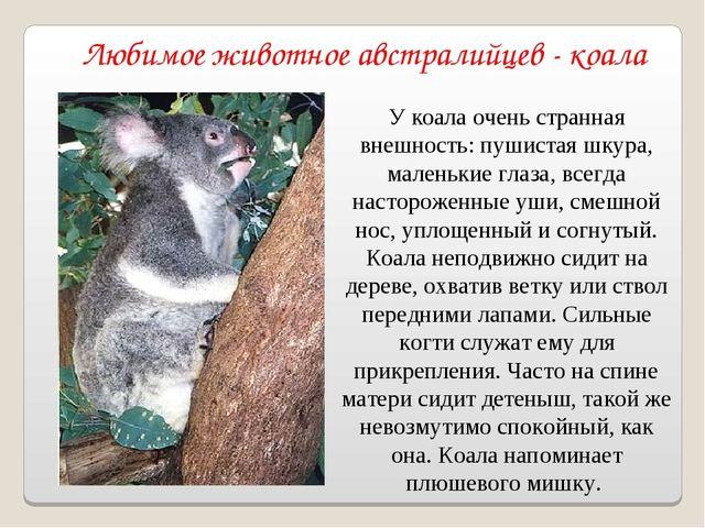 Любимое животное австралийцев - коала У коала очень странная внешность: пушис...