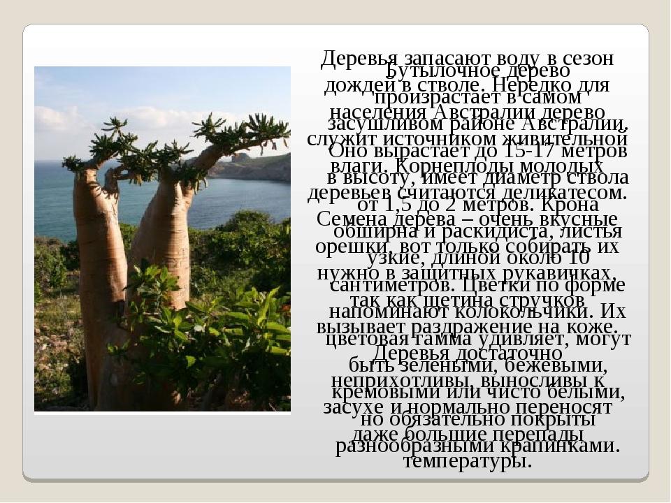 Бутылочное дерево произрастает в самом засушливом районе Австралии. Оно вырас...