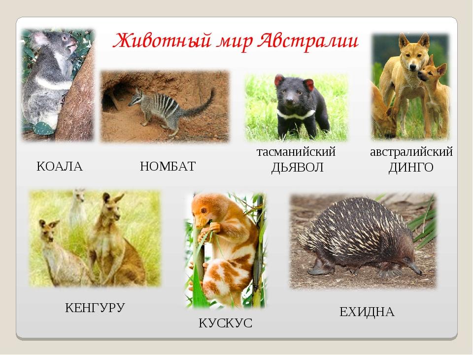 Животный мир Австралии австралийский ДИНГО КОАЛА НОМБАТ тасманийский ДЬЯВОЛ К...