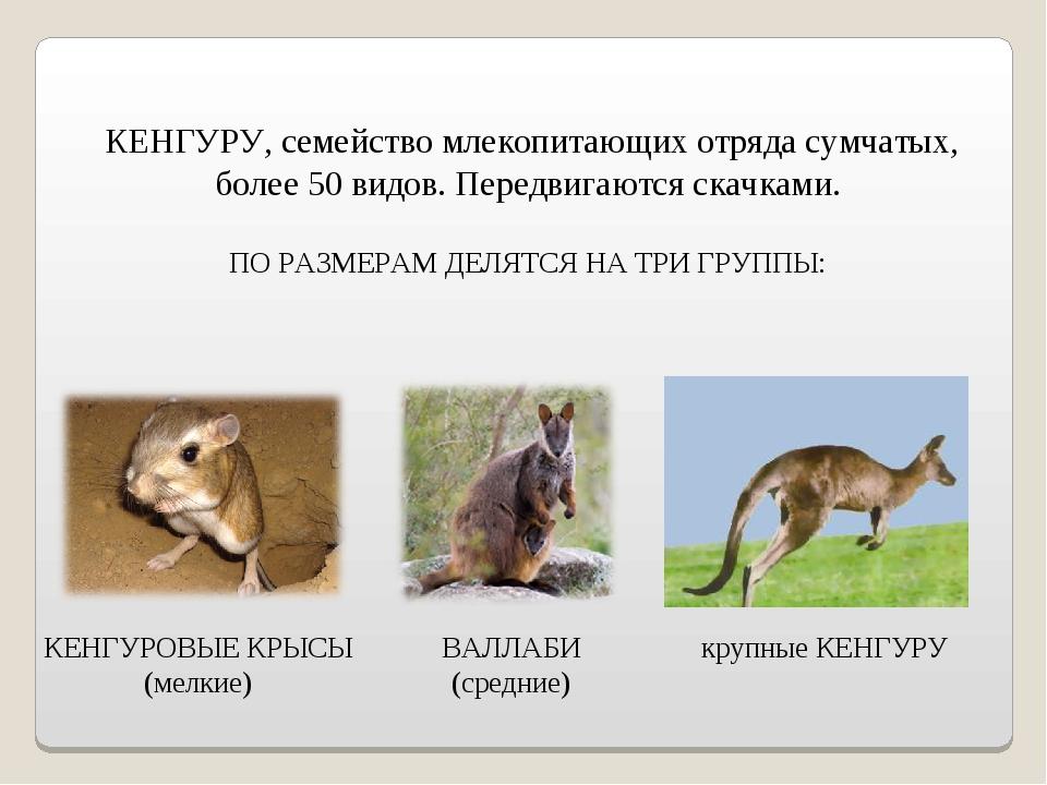 КЕНГУРУ, семейство млекопитающих отряда сумчатых, более 50 видов. Передвигаю...