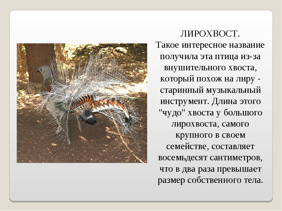 ЛИРОХВОСТ. Такое интересное название получила эта птица из-за внушительного...