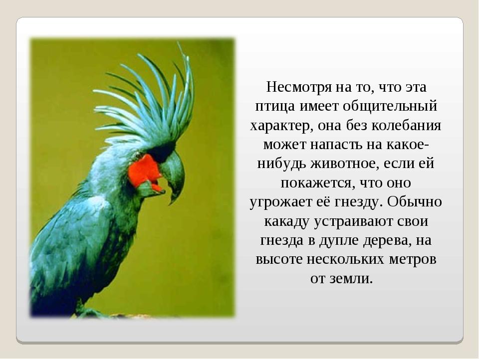 Несмотря на то, что эта птица имеет общительный характер, она без колебания...