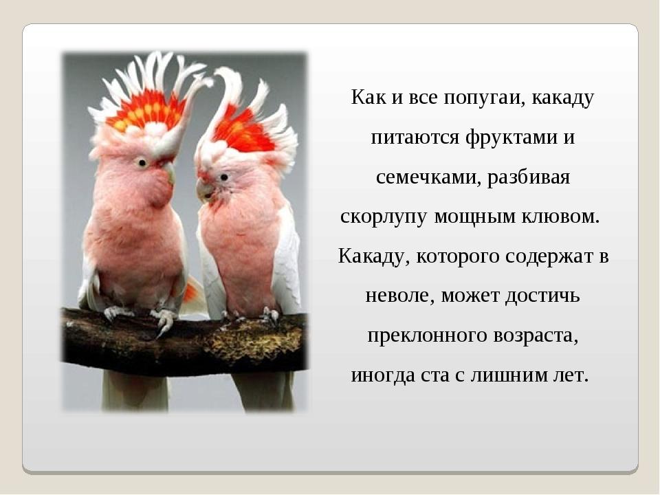 Как и все попугаи, какаду питаются фруктами и семечками, разбивая скорлупу мо...