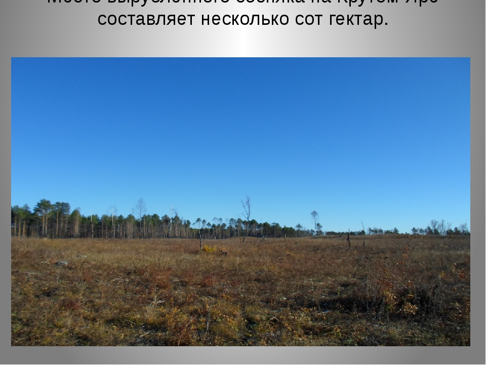 Место вырубленного сосняка на Крутом Яре составляет несколько сот гектар.