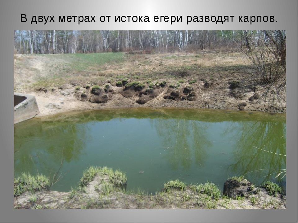 В двух метрах от истока егери разводят карпов.