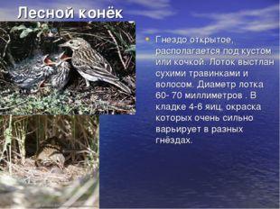 Лесной конёк Гнездо открытое, располагается под кустом или кочкой. Лоток выст