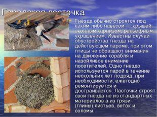 Городская ласточка Гнёзда обычно строятся под каким-либо навесом— крышей, ок