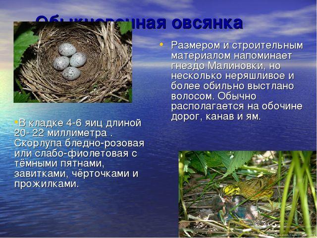 Обыкновенная овсянка Размером и строительным материалом напоминает гнездо Мал...