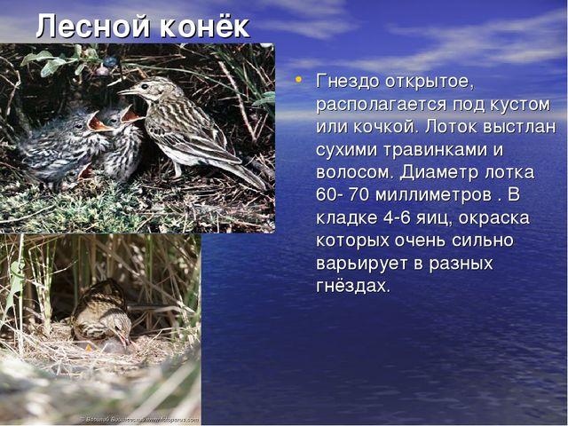 Лесной конёк Гнездо открытое, располагается под кустом или кочкой. Лоток выст...