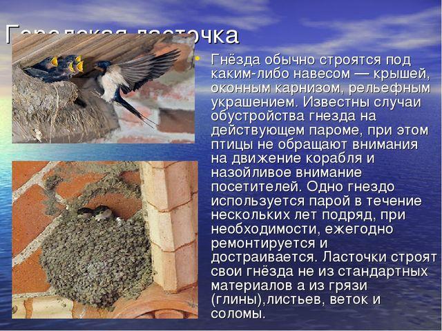 Городская ласточка Гнёзда обычно строятся под каким-либо навесом— крышей, ок...