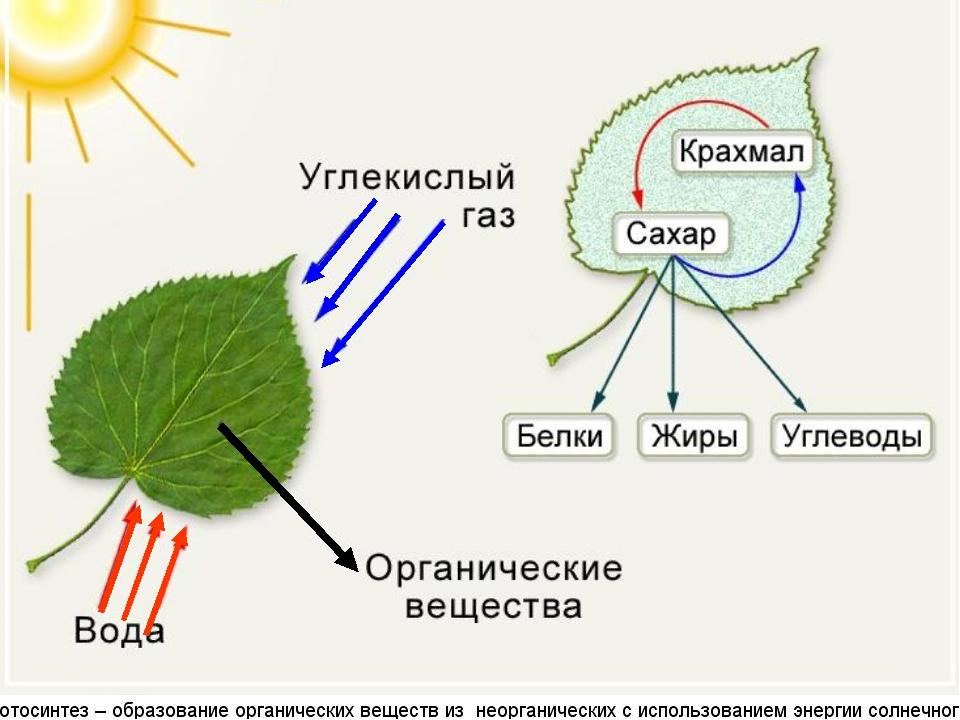 женская кофта фотосинтез как свойство растений пышные кусты агератума