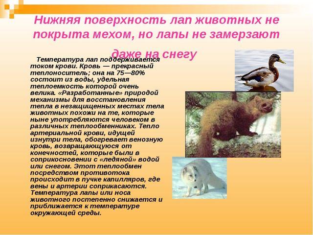 Нижняя поверхность лап животных не покрыта мехом, но лапы не замерзают даже н...