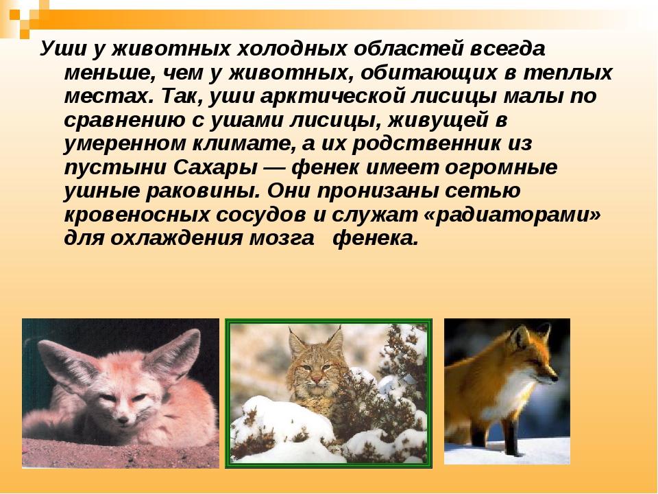 Уши у животных холодных областей всегда меньше, чем у животных, обитающих в т...