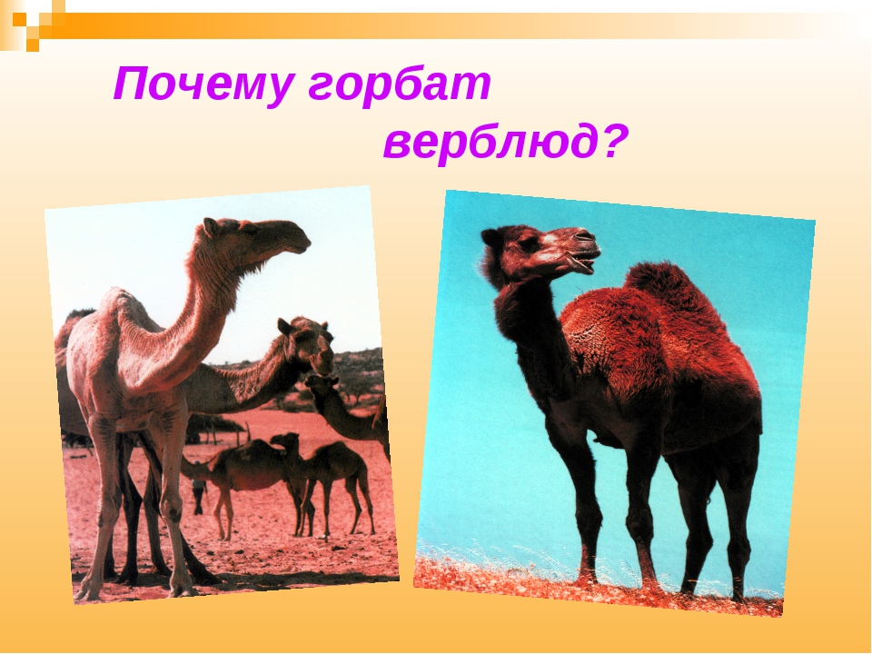 Почему горбат верблюд?
