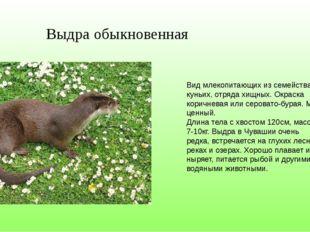 Вид млекопитающих из семейства куньих, отряда хищных. Окраска коричневая или