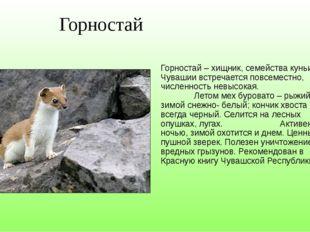 Горностай Горностай – хищник, семейства куньих. В Чувашии встречается повсем
