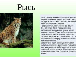 Рысь Рысь хищное млекопитающееживотное .Живёт в таёжных лесах и в горах, иног