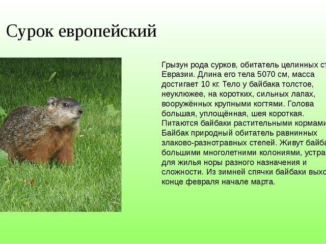 Сурок европейский Грызун рода сурков, обитатель целинных степей Евразии. Длин...
