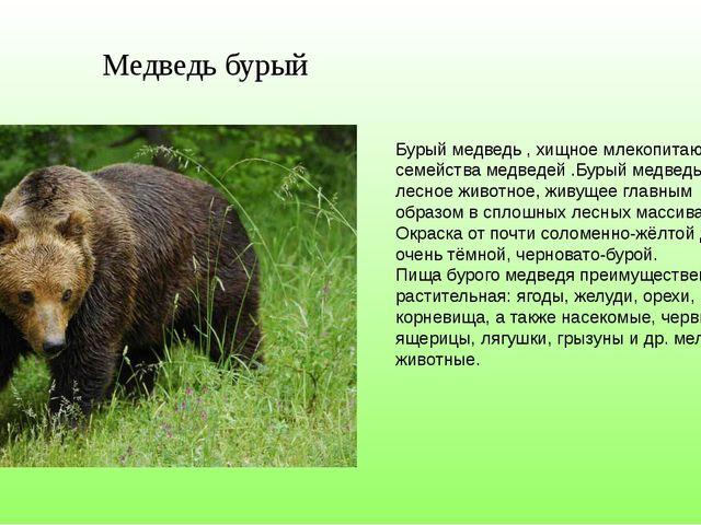Медведь бурый Бурый медведь , хищное млекопитающее семейства медведей .Бурый...