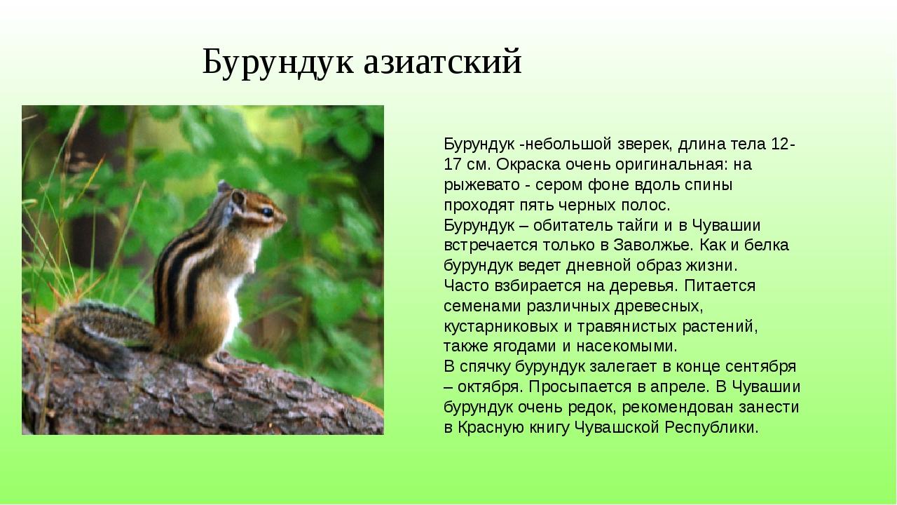 Бурундук азиатский Бурундук -небольшой зверек, длина тела 12-17 см. Окраска о...