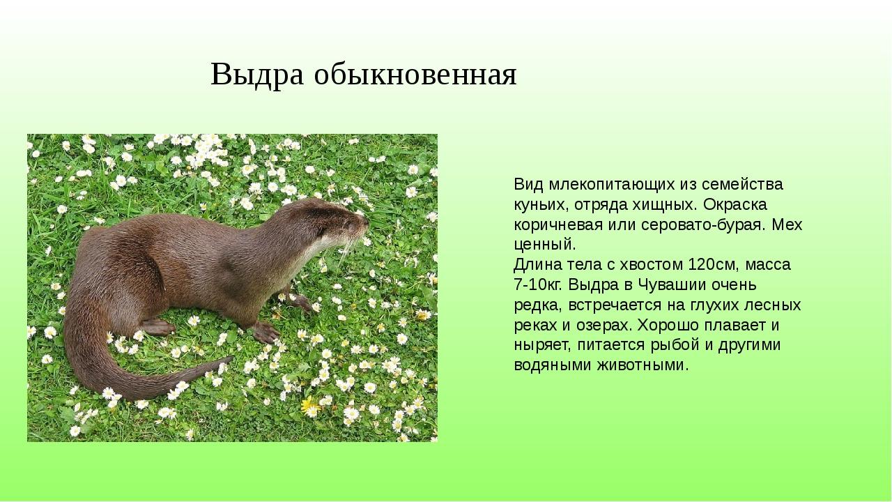 Вид млекопитающих из семейства куньих, отряда хищных. Окраска коричневая или...