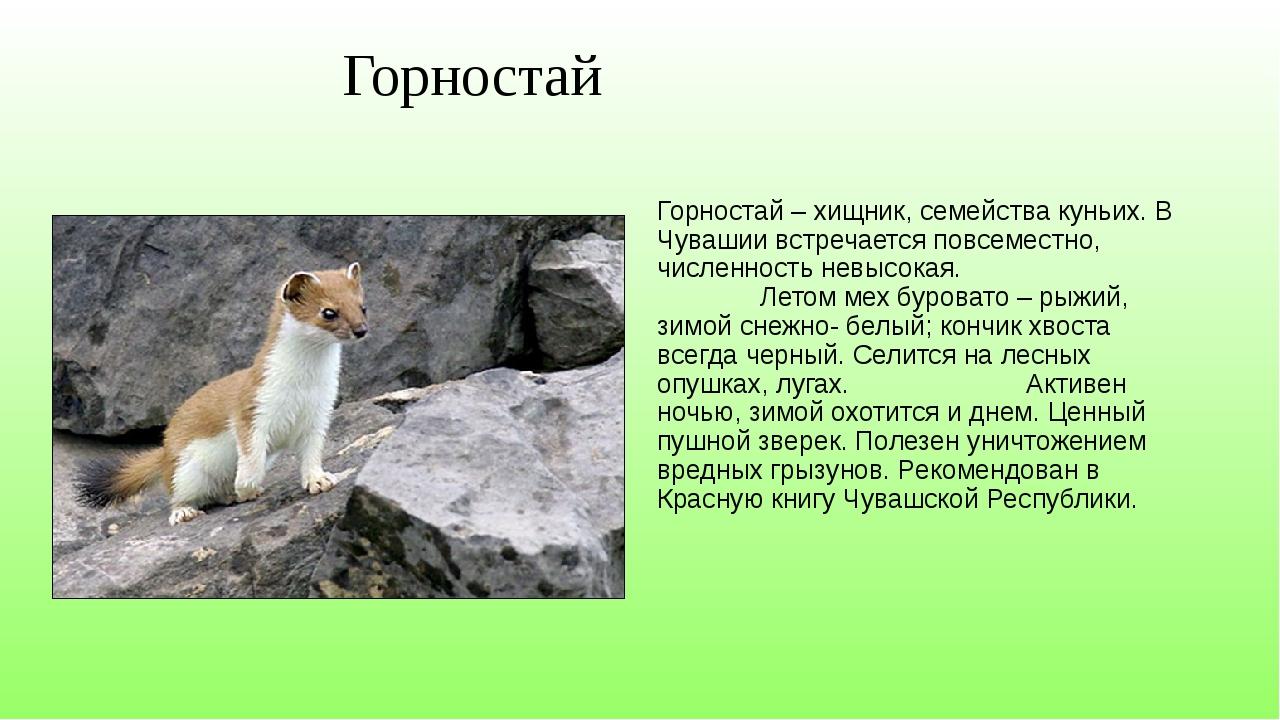 Горностай Горностай – хищник, семейства куньих. В Чувашии встречается повсем...