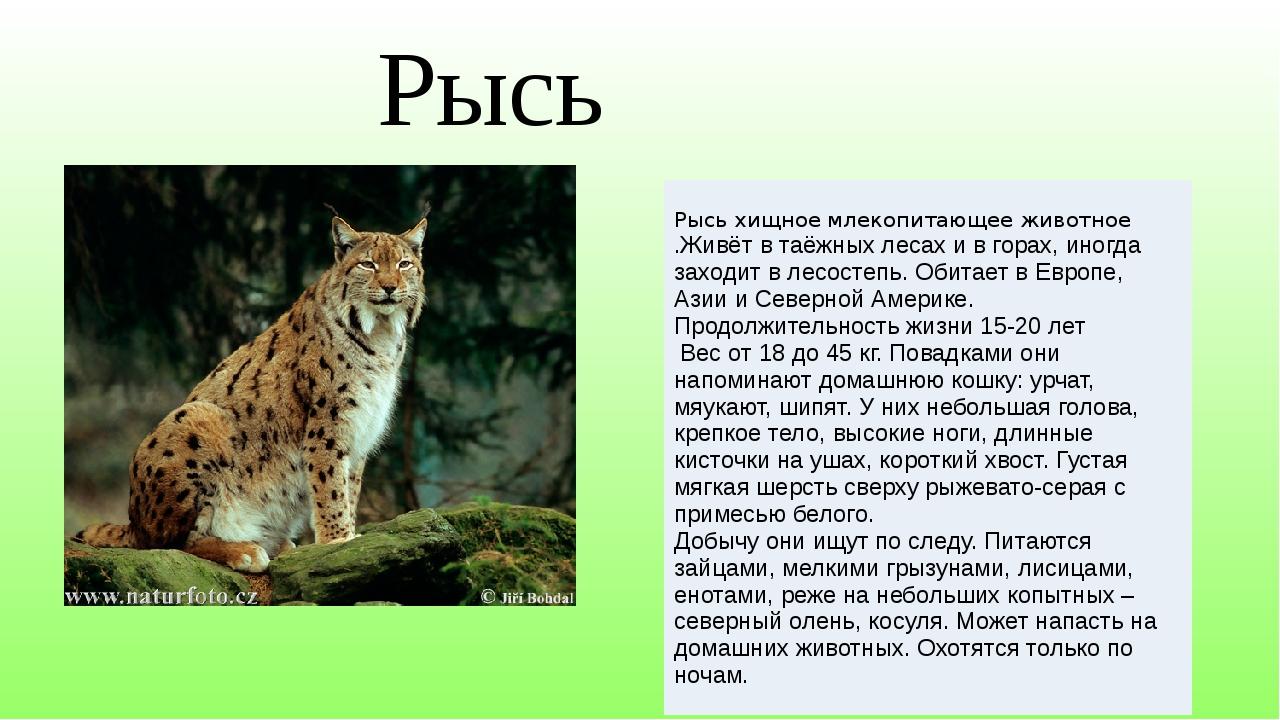 Рысь Рысь хищное млекопитающееживотное .Живёт в таёжных лесах и в горах, иног...