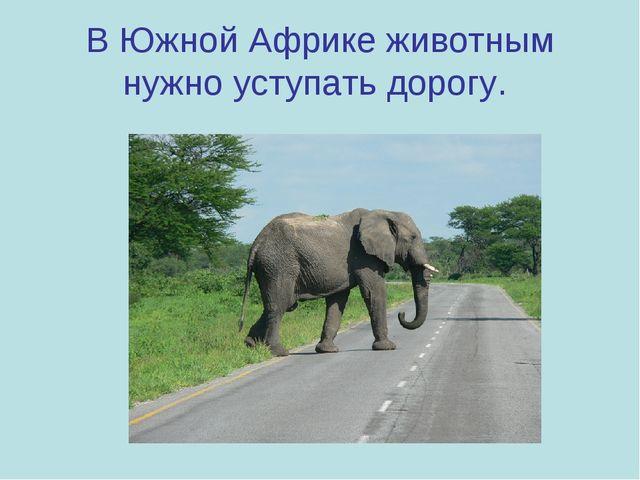 В Южной Африке животным нужно уступать дорогу.