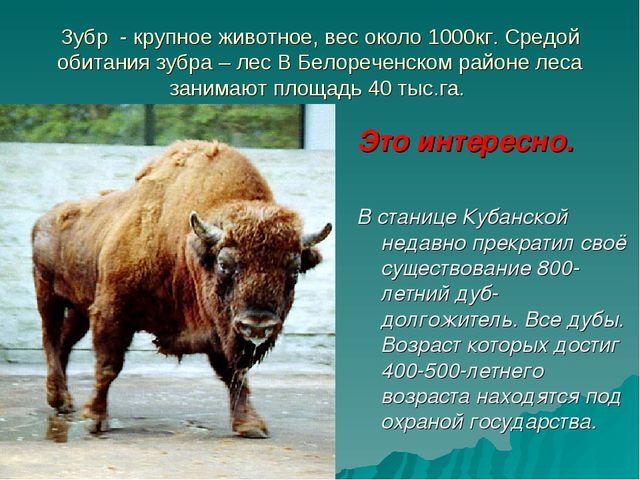 Зубр - крупное животное, вес около 1000кг. Средой обитания зубра – лес В Бело...