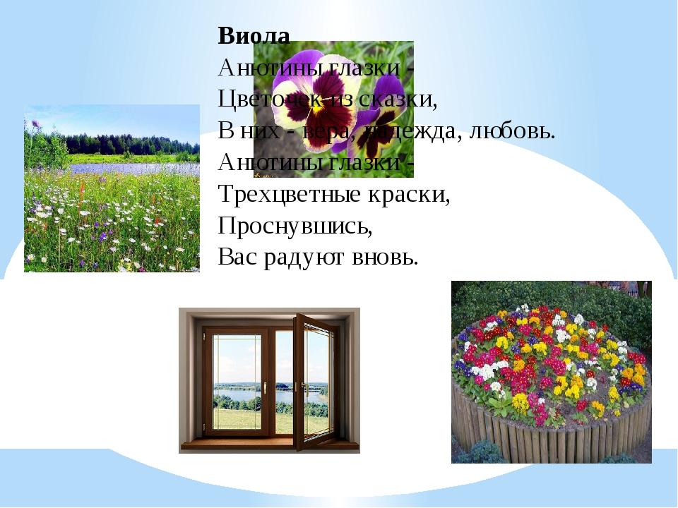 Виола Анютины глазки - Цветочек из сказки, В них - вера, надежда, любовь. Аню...
