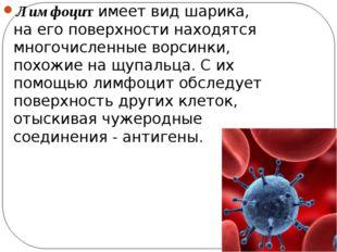 Лимфоцит имеет вид шарика, на его поверхности находятся многочисленные ворсин