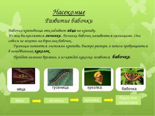 Насекомые Развитие бабочки Бабочка-крапивница откладывает яйца на крапиву. И