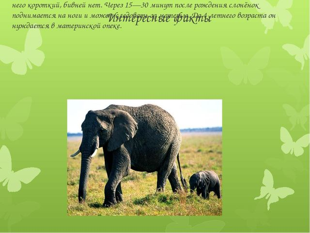 Интересные факты Новорождённый слонёнок весит 90—120 кг при высоте в плечах о...