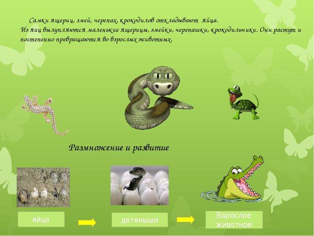 Самки ящериц, змей, черепах, крокодилов откладывают яйца. Из яиц вылупляются...