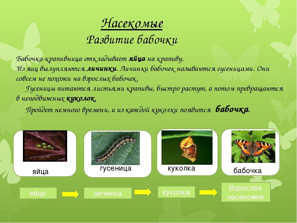 Насекомые Развитие бабочки Бабочка-крапивница откладывает яйца на крапиву. И...