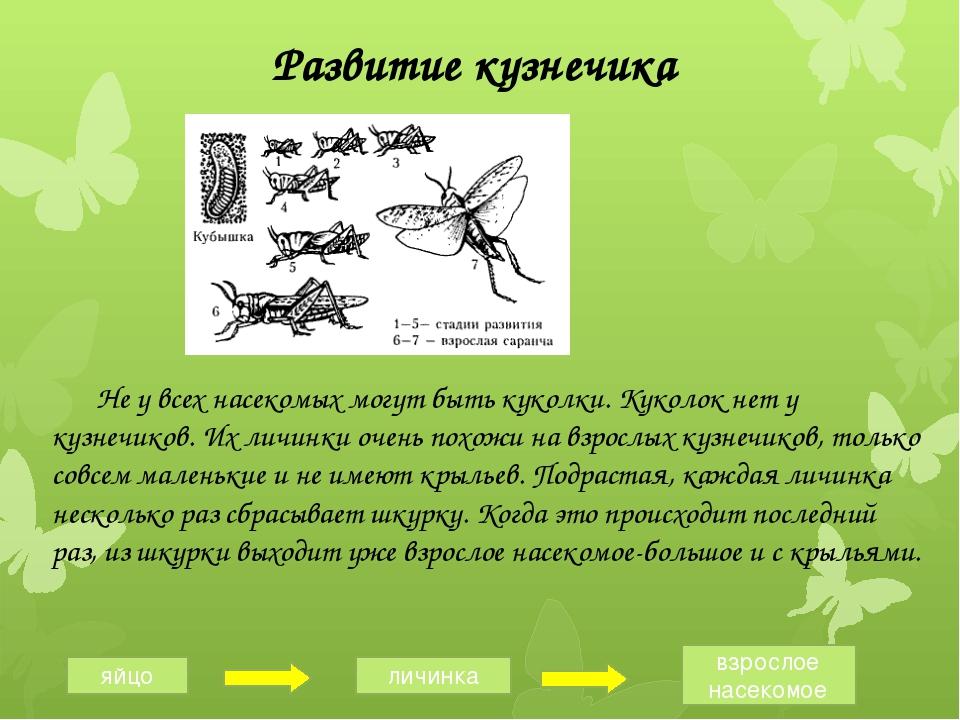 Развитие кузнечика Не у всех насекомых могут быть куколки. Куколок нет у куз...