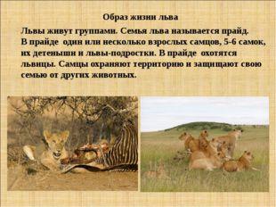Образ жизни льва Львы живут группами. Семья льва называется прайд. В прайде о