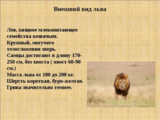 Внешний вид льва Лев, хищное млекопитающее семейства кошачьих. Крупный, могуч...