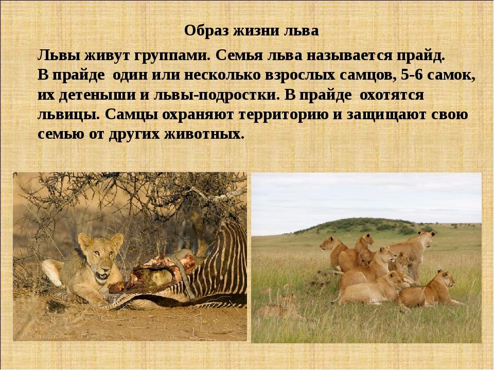 Образ жизни льва Львы живут группами. Семья льва называется прайд. В прайде о...