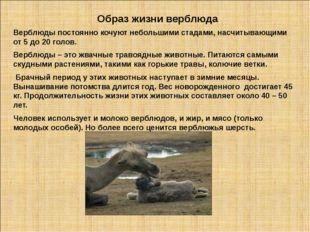 Образ жизни верблюда Верблюды постоянно кочуют небольшими стадами, насчитываю