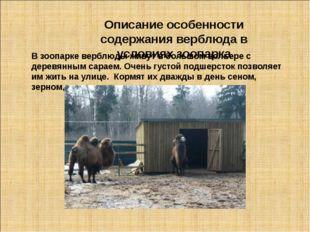 Описание особенности содержания верблюда в условиях зоопарка В зоопарке верб