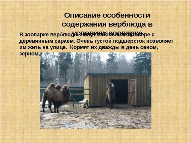 Описание особенности содержания верблюда в условиях зоопарка В зоопарке верб...