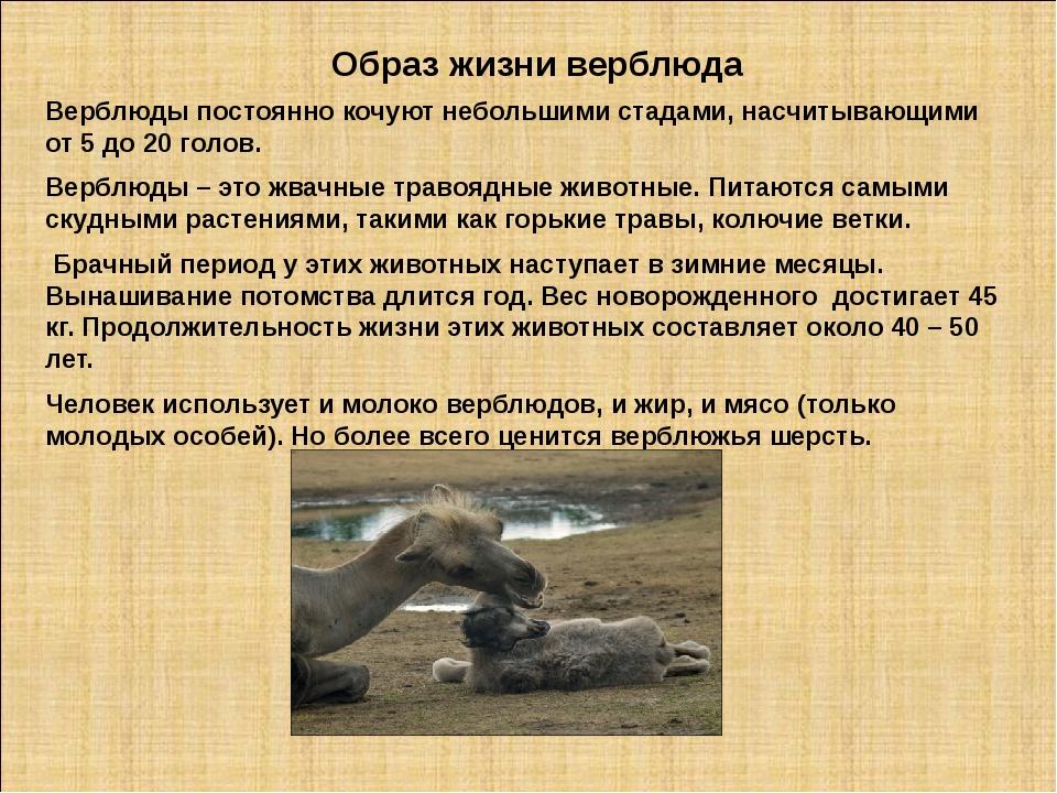 Образ жизни верблюда Верблюды постоянно кочуют небольшими стадами, насчитываю...