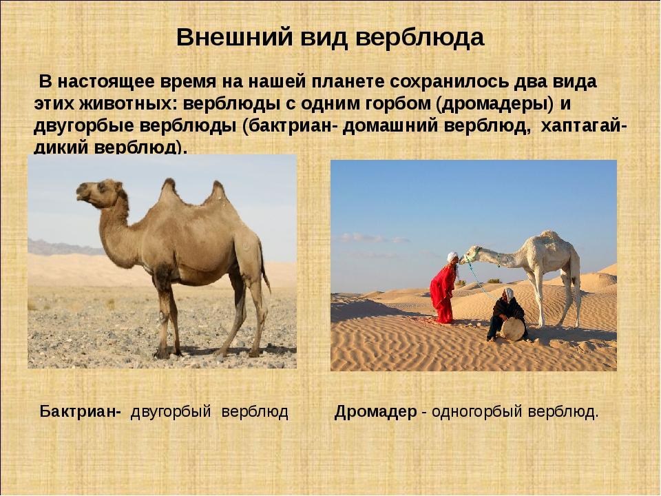 Внешний вид верблюда В настоящее время на нашей планете сохранилось два вида...