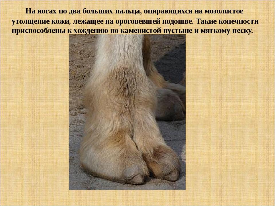На ногах по два больших пальца, опирающихся на мозолистое утолщение кожи, ле...