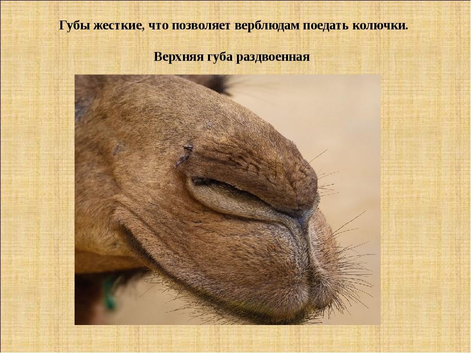 Губы жесткие, что позволяет верблюдам поедать колючки. Верхняя губа раздвоенная