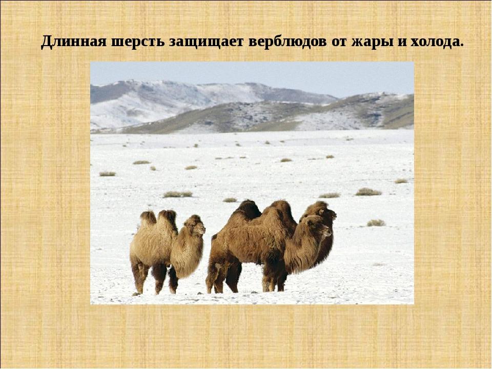 Длинная шерсть защищает верблюдов от жары и холода.