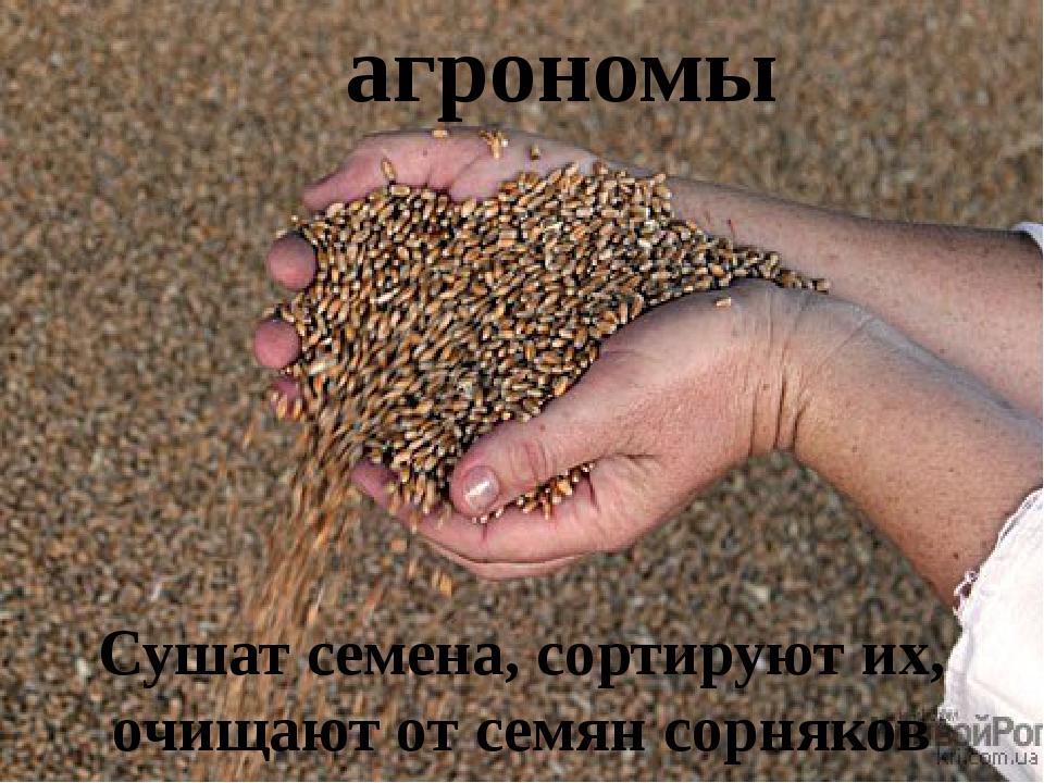 агрономы Сушат семена, сортируют их, очищают от семян сорняков